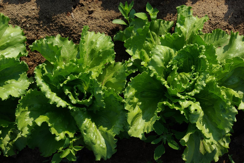 Salat-Vinaigrette mit Goldenem Schatz