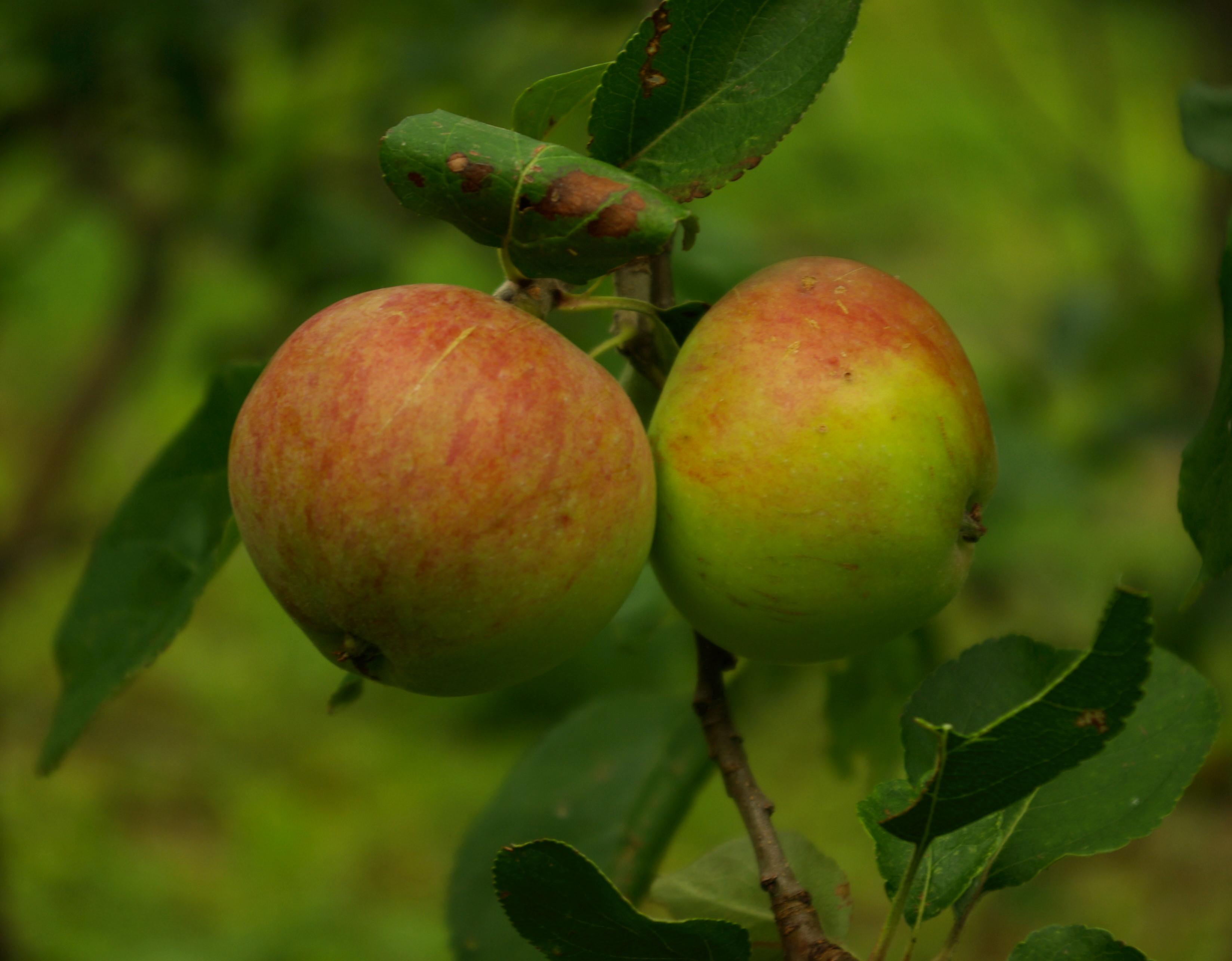 Fruchtbalsame