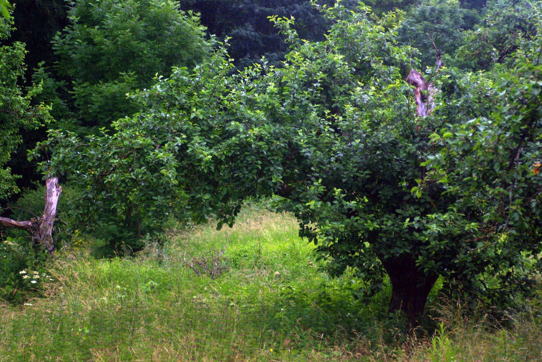 Bio Streuobstbäume in Franken