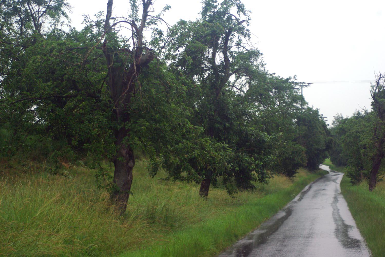 Bio Zwetschgenbäume in Franken