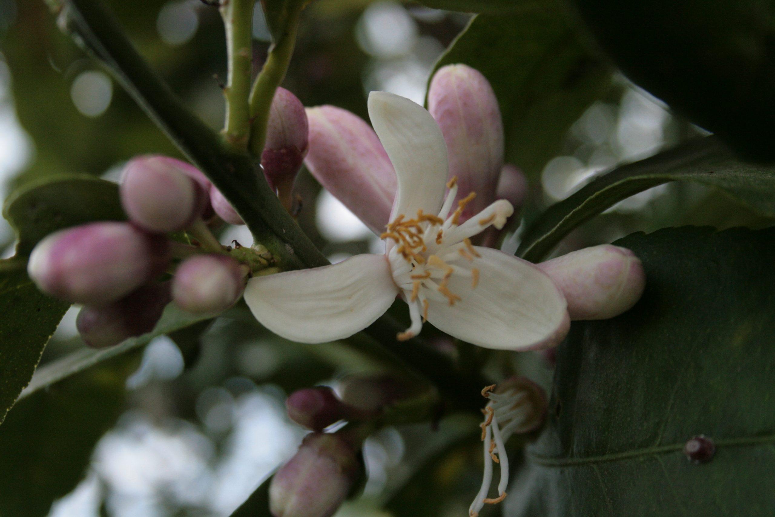 Zitronenblüte von sizilianischen Bio-Zitronen