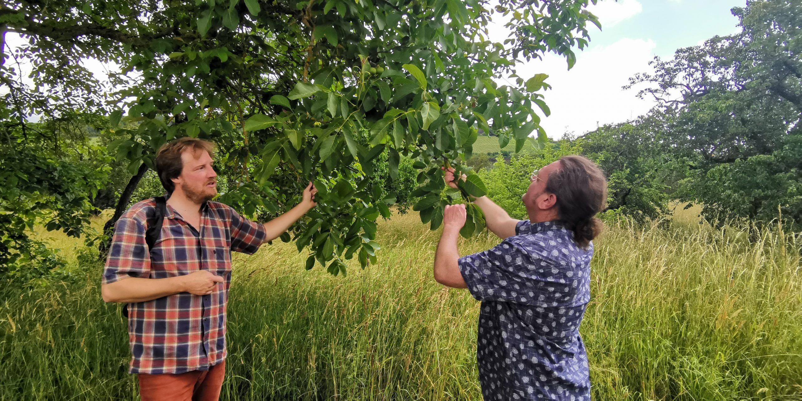 Thomas Luciow und Krischan Kords beim Walnussbaum für Schwarze Nüsse