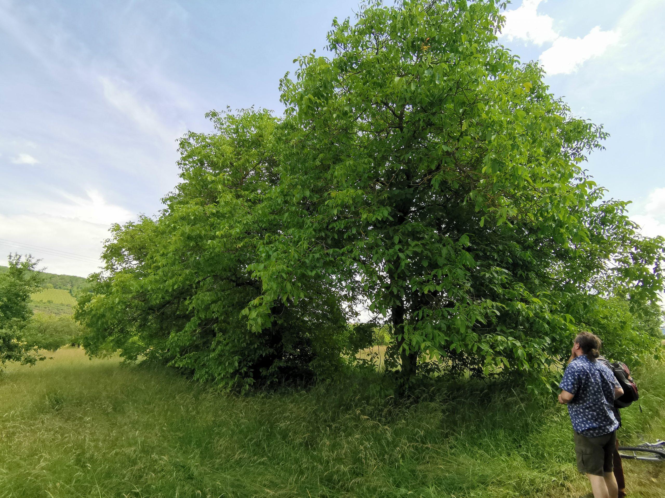Walnußbäume in Margetshöchheim